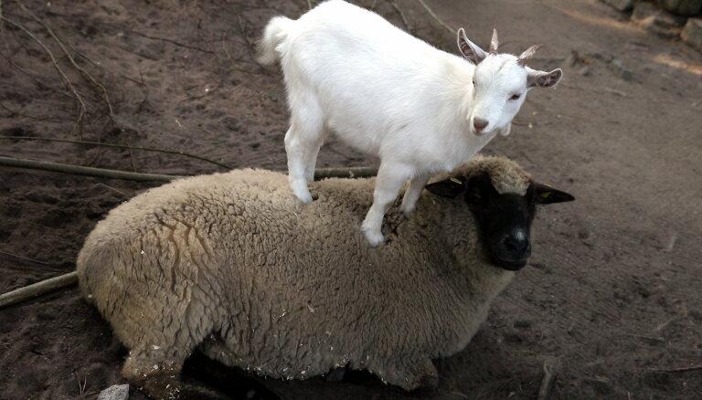 В 50 км от латвийской границы констатирована вспышка оспы коз и овец, предупреждают об опасном мясе