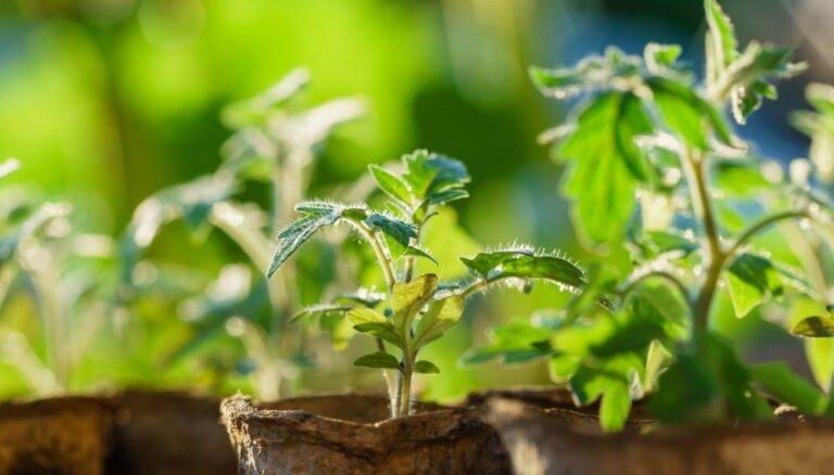 Sēšanas gudrības: kā pareizi audzēt tomātu dēstus un nepieļaut kļūdas