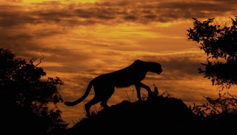Foto izlase: Cik skaisti dažādi dzīvnieki izskatās saulrieta laikā