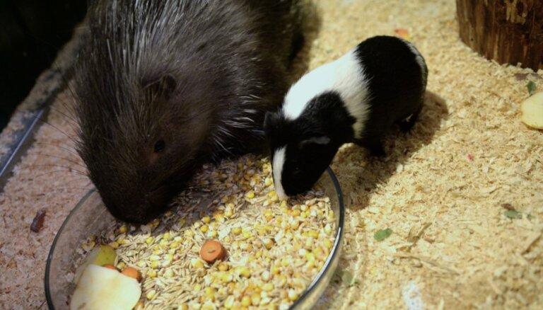 Nešpetnu jūrascūciņu un dzeloņcūku vieno neparasta draudzība