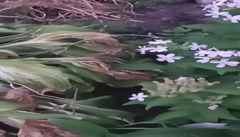 Video: Liepājā iemūžināts mulsinošais madaru sfings