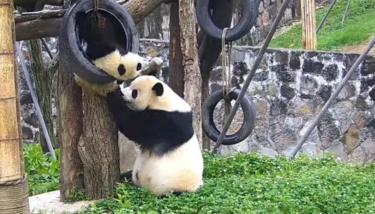 Video: Pandu lācis cenšas bēgt no māmiņas, rāpjoties riepā