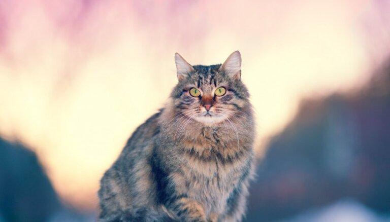 Pieci mīlīgi un īpatnēji kaķīši, ar kuriem lepojas Krievijā