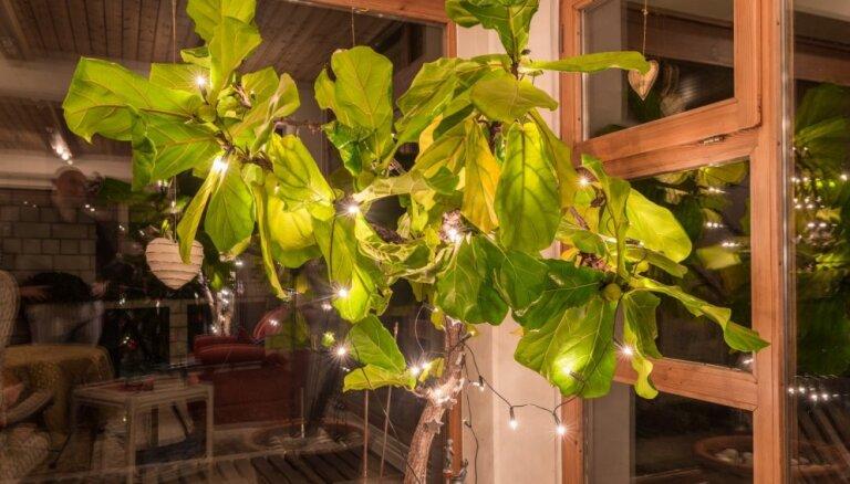 Telpaugi svētku rotā: kāpēc augus nevajadzētu rotāt vai nopūst ar spīguļiem