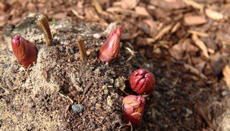 Ko iesākt ar pavasara sākumā iegādātu peoniju