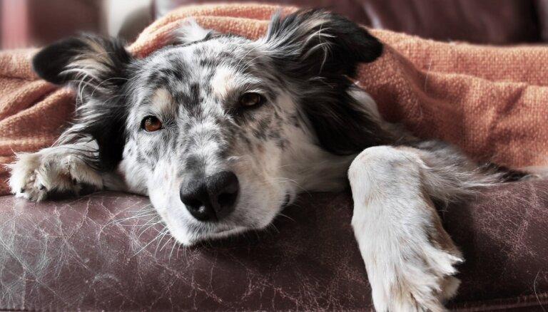 Eksperts: neārstēta ērču pārnēsātā babezioze suņiem var radīt letālas sekas