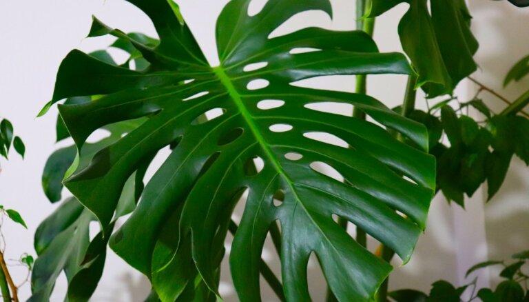 Modes augs ar iespaidīgām lapām – monstera. Padomi auga kopšanā