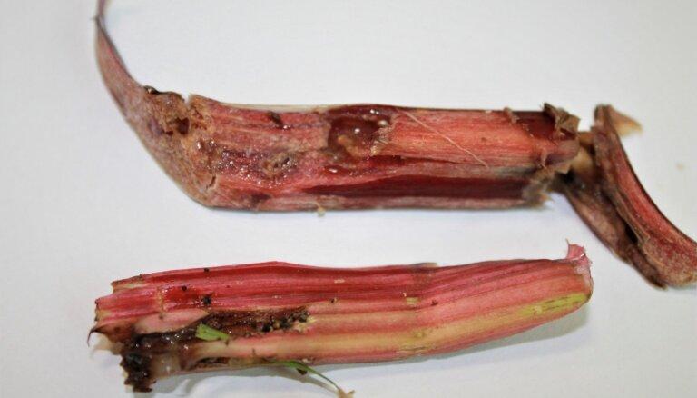 Rabarberi briesmās: aktivizējusies kartupeļu lakstpūcīte, kas sabojā kātu