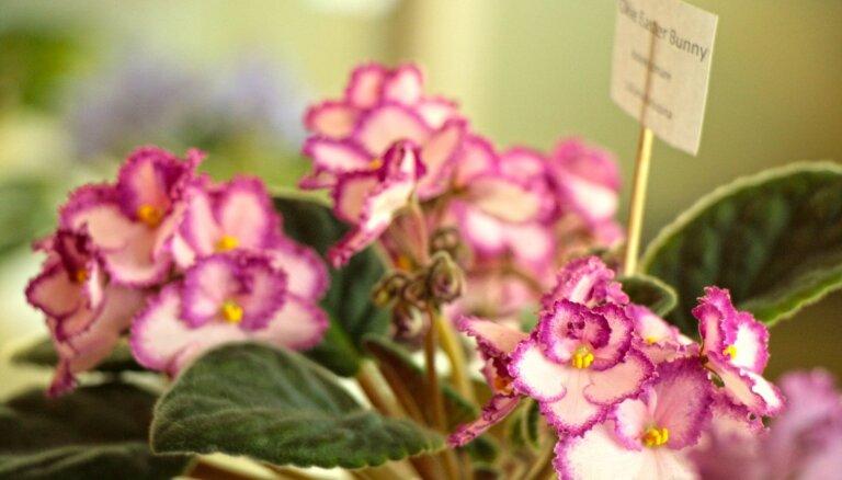 Foto: Eleganto un daudzkrāsaino sanpauliju izstāde LU Botāniskajā dārzā