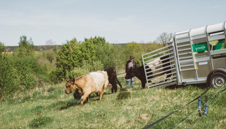Mobilajam ganāmpulkam šovasar paredzēts noganīt 300 hektārus dabisko pļavu