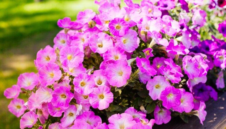 Lai petūnijas augtu koši un bagātīgi: nokaltušie ziedi – griezt vai atstāt?