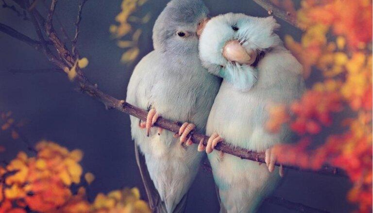 Visa dzīve kā Valentīndiena: saimniece apburošos kadros iemūžina savu papagaiļu mīlestību