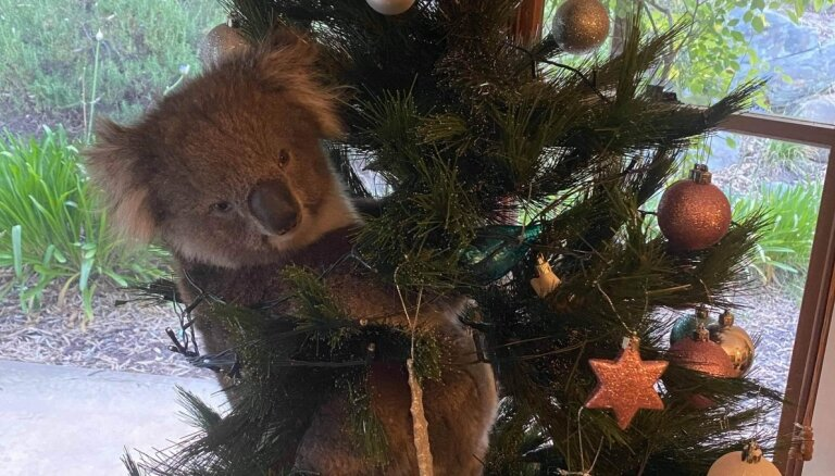 Pārsteigums! Privātmājas Ziemassvētku eglītē Austrālijā uzrāpusies koala