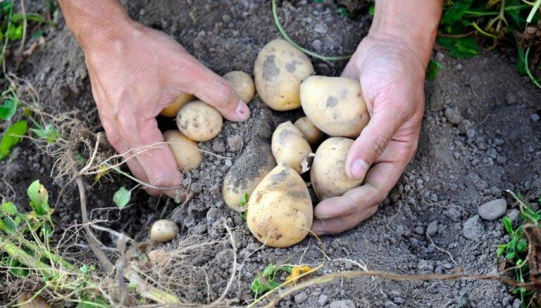 Kāpēc kartupeļus audzēt lapu kompostā
