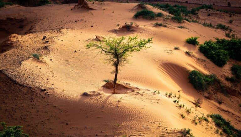 Neticami, bet Sahāras tuksnesī aug miljoniem koku