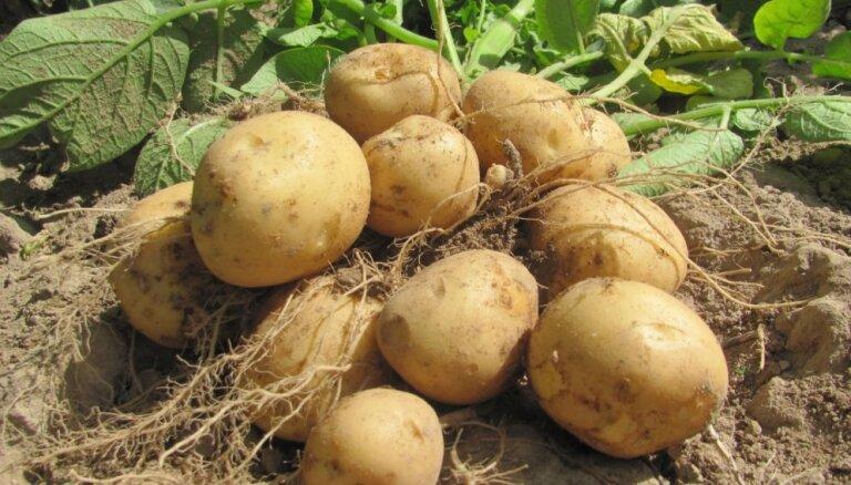 Audzētāju ieteikumi: agrākās, ražīgākās un pret slimībām izturīgās kartupeļu šķirnes