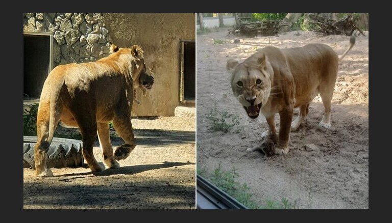 ФОТО. В Рижском зоопарке можно увидеть двухнедельных львят
