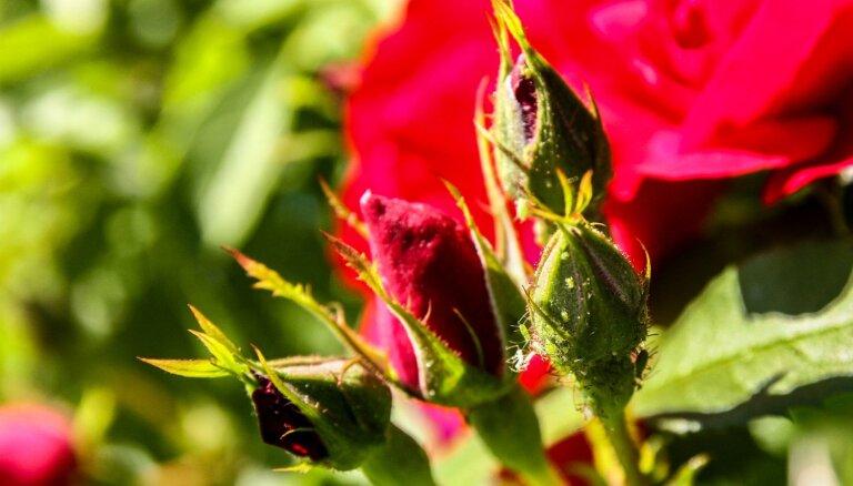 Rozēm uzbrūk laputis un miltrasa: dārznieces ieteikumi cīņā pret kaitēkļiem
