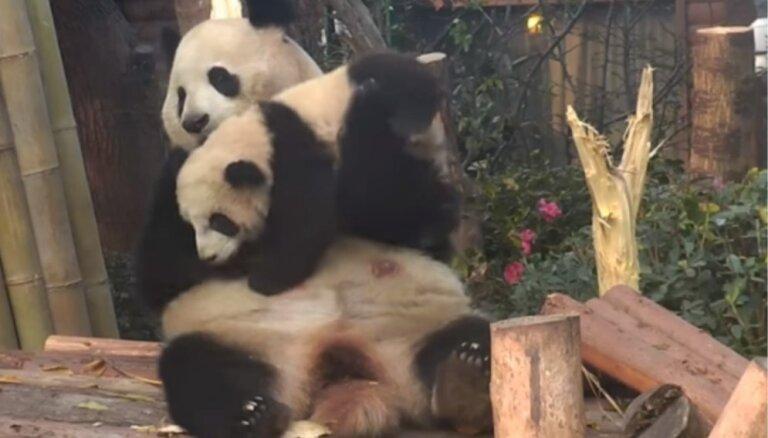 Sirsnīgs video: Pandu mamma mīļi cilā savu mazuli