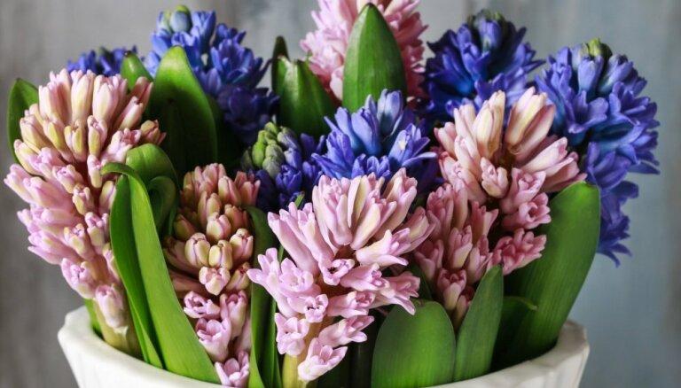 Pavasaris vāzē: kā pēc iespējas ilgāk saglabāt hiacinšu grieztos ziedus