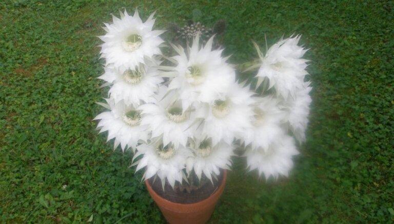 Zied kaktuss ar 13 ziediem