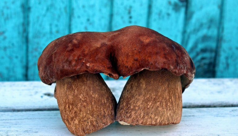 ФОТО: Читательница сделала в лесу необычную находку — сдвоенный боровик