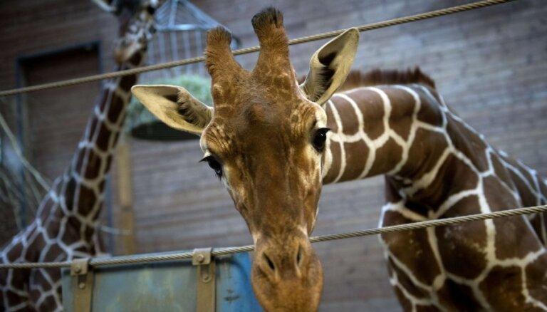 Второй жираф Мариус избежал усыпления