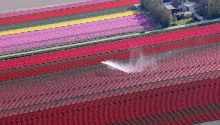 Kā krāsaina seģene: Nīderlandes košie tulpju lauki no putna lidojuma