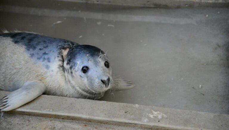Video: Ievainotais Ventspils pludmales ronēns atkopjas Rīgas zoo