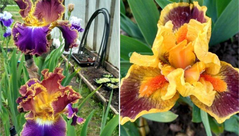 Foto: Selekcionāra Laimoņa Zaķa dārzā zied iespaidīgā īrisu kolekcija