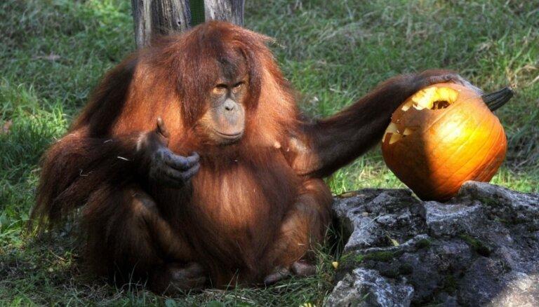 Foto: Zvēriņi zoodārzos bauda Helovīna noskaņu, mielojoties ar ķirbjiem