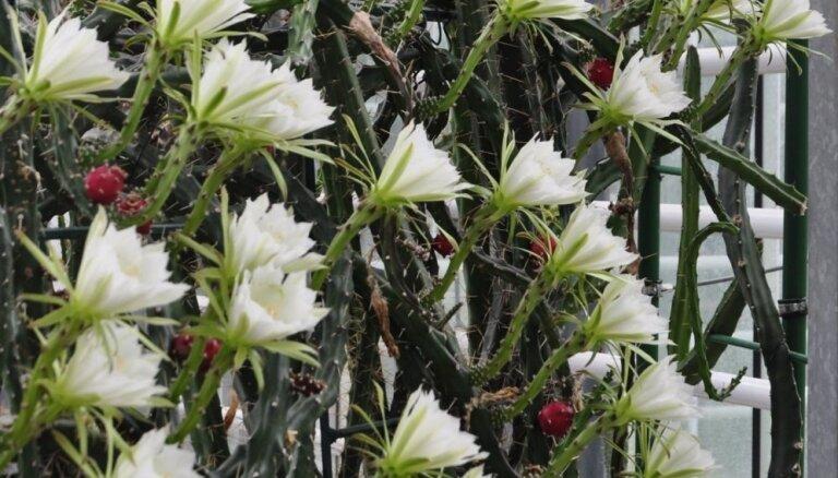 Zied tikai vienu nakti – Nacionālajā botāniskajā dārzā 41 ziedu raisījis eriocerejs