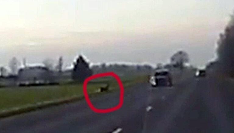 """ВИДЕО: Косуля выбежала под колеса машины, но вовремя """"затормозила"""""""
