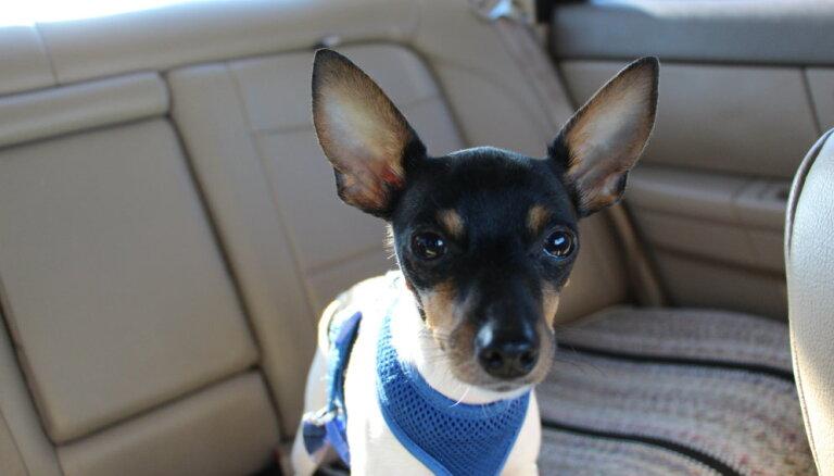 Suņu šķirne: toiterjers