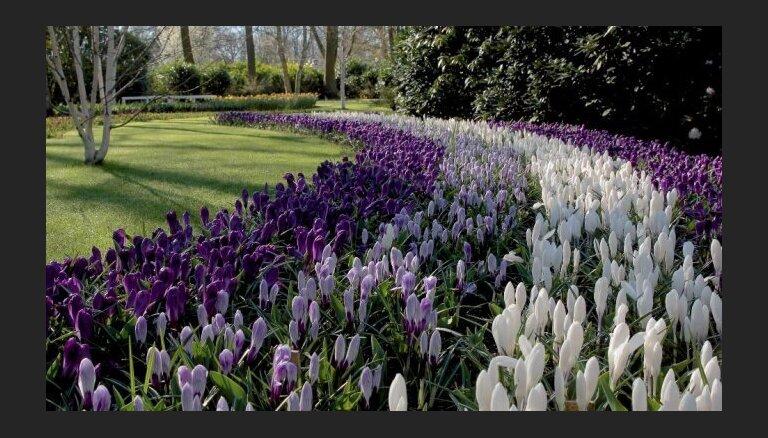 Iespaidīgais Keukenhofas dārzs Nīderlandē atkal atvērts apmeklētājiem