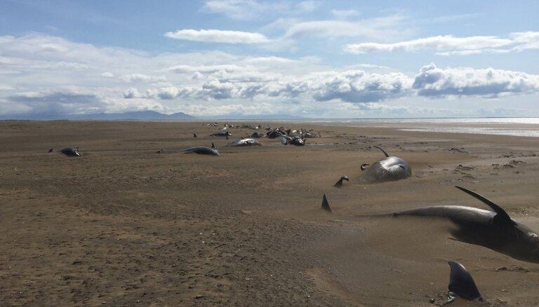 Черные дельфины массово выбросились на берег в Исландии