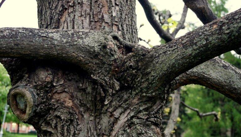 Foto: Rīgas Ziedoņdārza 'runājošie' koki