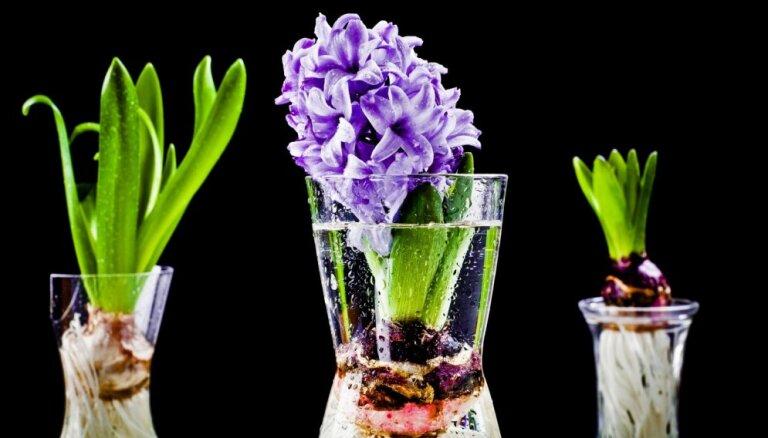 Video: Vispraktiskākais sīpolpuķu audzēšanas veids