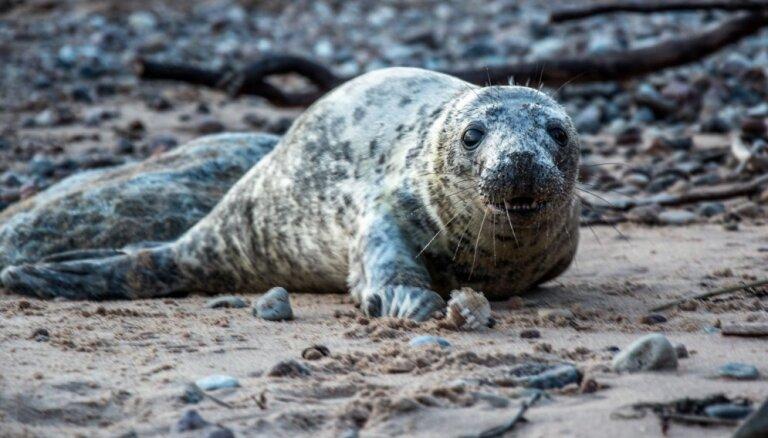 Lasītāja foto: Ronis pozē kamerai Saulkrastu pludmalē