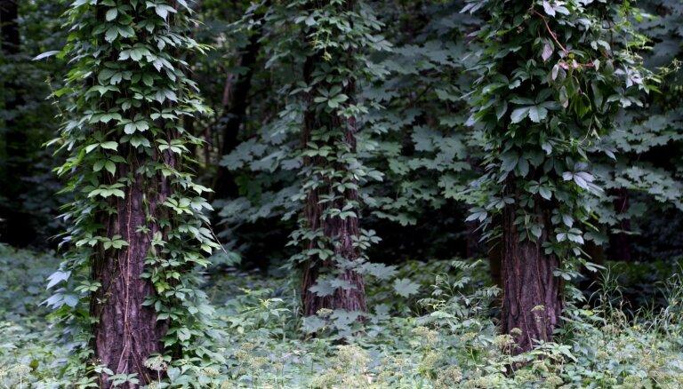 Mežaparkā veidos skatu torni un kilometru garu pastaigu taku gar koku galotnēm
