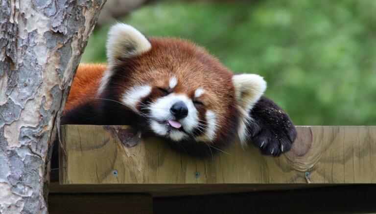 Rīgas zoo taps Sarkano pandu māja