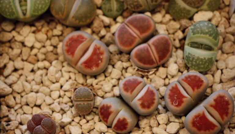 Foto: LU Botāniskajā dārzā aplūkojami eksotiski dzīvie akmeņi un sukulenti