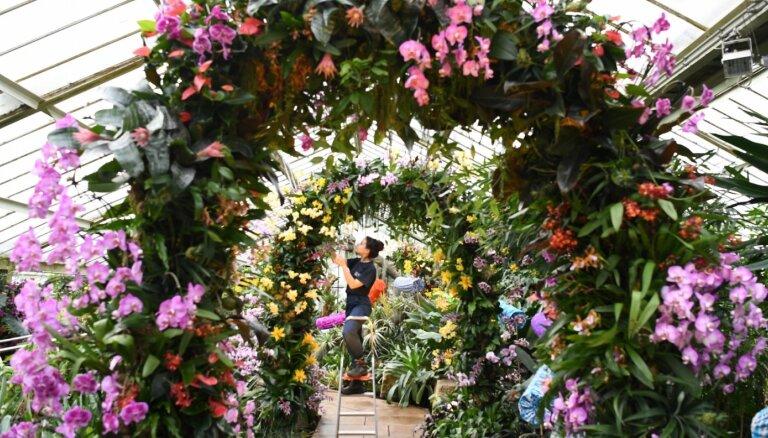 Foto: Kjū Karaliskajā botāniskajā dārzā norit iespaidīgais orhideju festivāls