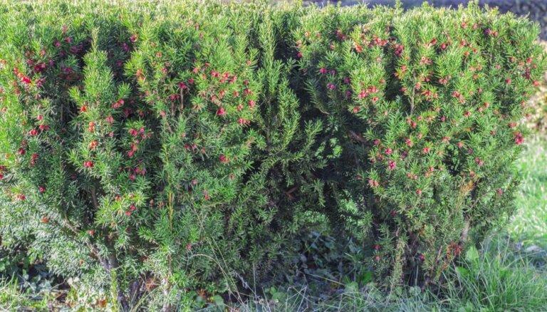 Citāds dzīvžogs – lapu koki, krūmi un mūžzaļi augi barjeras veidošanai