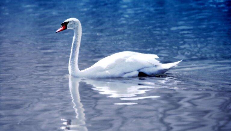 На пляже в Саулкрасты гибнут лебеди — причины пока не установлены