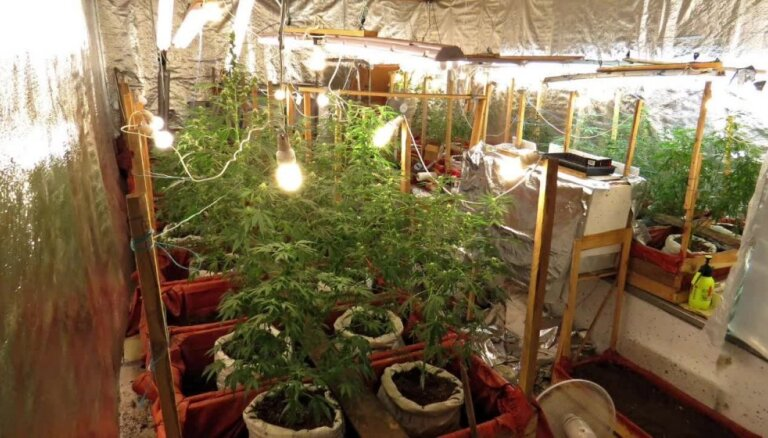 Zemnieku saimniecībā Talsu novadā atrod marihuānas audzētavu