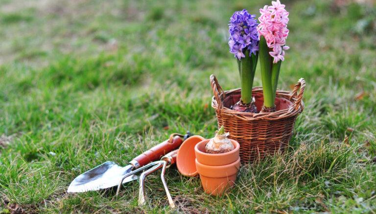 Kā uzglabāt hiacinšu sīpolus?