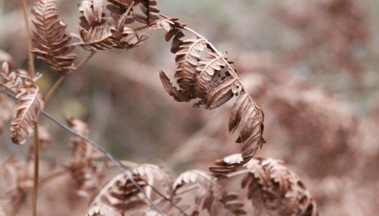 Nokaltušās dārza papardes rudenī: lapas paturēt vai nogriezt?