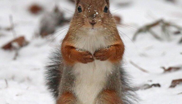 """ФОТО: """"Здравствуйте, я пришла!"""" В Межциемсе забавная белка играет с орехами"""