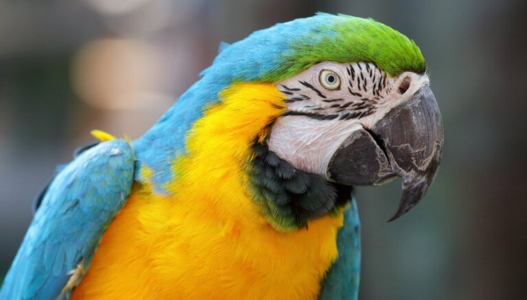Runājošais draugs: kā iemācīt papagaili komunicēt